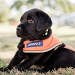 image of guide dog puppy