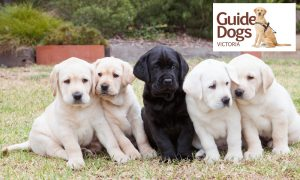 Donate to Guide Dogs Victoria