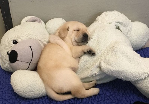 Guide Dog puppy asleep on a large stuffed bear